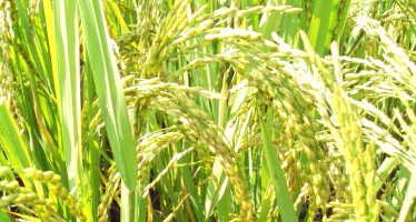 Kasalath, a lost  (and now found) rice of Bangladesh